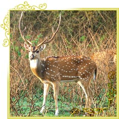 Deer at Kumbhalgarh Sanctuary
