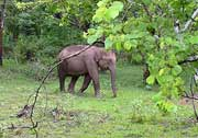 Elephant at Nagarhole National Park